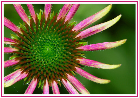 cone flower (Echinacea purpurea (Coneflower))