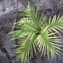 Pygmy Date Palm (Phoenix roebelenii (Pygmy date palm))
