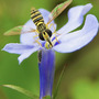 hoverfly on lobelia (Lobelia)