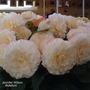 Begonia Jennifer Wilson