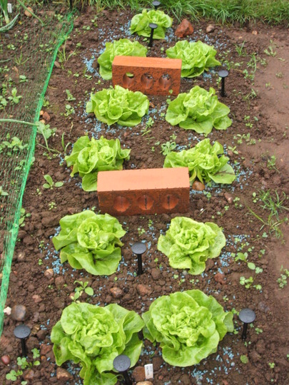 Lettuce - Tom Thumb (Lactuca sativa)
