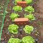 Lettuce - Tom Thumb (Lactuca sativa)