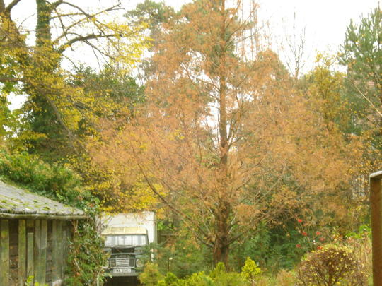 Dawn Redwood  Autumn (Metasequoia glyptostroboides)
