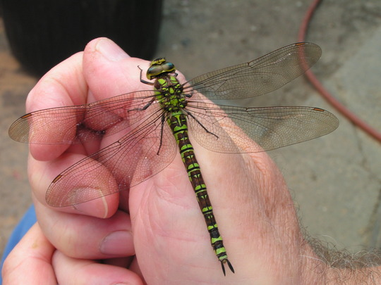 Just paying a visit, Southern Hawker