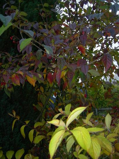 Autumn Colour in our new Garden.