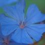 ceratostigma plumbaginoides 002 (ceratostigma plumbaginoides)