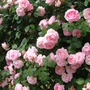Constance Spry in full bloom (Rosa Constance Spry)