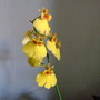 The label says 'Oncidium'