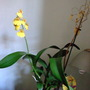 Full picture - oncidium