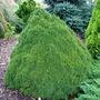 Picea_glauca_lilliput