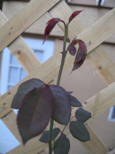 New Growth on the Rose Bush (Don Juan Roses)