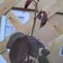 New Growth on the Rose Bush (Don Juan Roses)