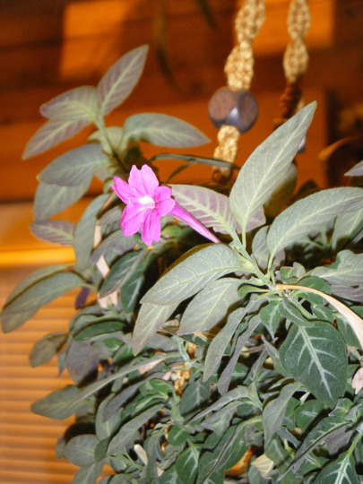 reullia blosom (Ruellia makoyana (Monkey Plant))