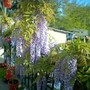 image_00098.jpg (Wisteria floribunda (Japanese Wisteria))