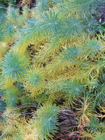 Euphorbia cyparissias (Euphorbia cyparissias (Cypress Spurge))