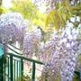 image_00086.jpg (Wisteria floribunda (Japanese Wisteria))