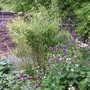 Bamboo corner (Phyllostachys aurea (Golden Bamboo))