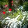 A garden flower photo (Spirea Japonica, Spirea Arguta and Spirea Nipponica hdge)