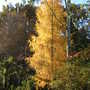 European larch (Larix decidua (Aris))