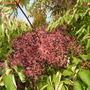 Aralia spinosa (Aralia spinosa)