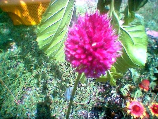 image_00722.jpg (Allium ostrowskianum)