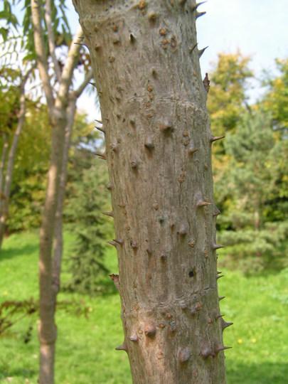 Aralia spinosa trunk (Aralia spinosa)