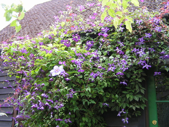 Battle of the climbers (Clematis viticella (Viticella Group clematis))