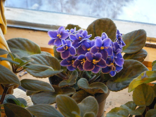 New African Violet (Saintpaulia ionantha)