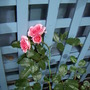 my climing rose its starting to bloom now.d