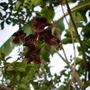 Markhamia zanzibarica - Markhamia Bell Flower (Markhamia zanzibarica - Markhamia Bell Flower)