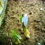 Blue pearl (Crocus chrysanthus (Crocus))