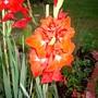 Glad in 2007 (Gladiolus grandiflorus)