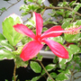 Hibiscus (Hibiscus tiliaceus variegata)