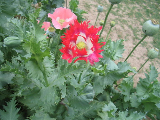 2008 Poppy Flower (papaver somniferum (opium poppy))