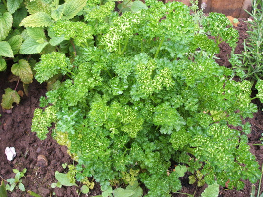 Parsley (Petroselinum crispum)