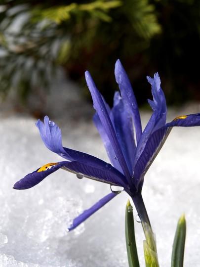 Iris reticulata in 2007 (Iris reticulata (Iris))