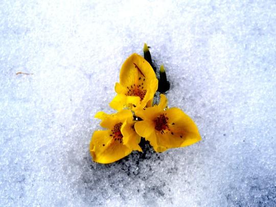 Iris in the snow in 2007 (Iris reticulata (Iris))