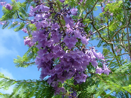 Jacaranda flowers (Jacaranda mimosifolia)