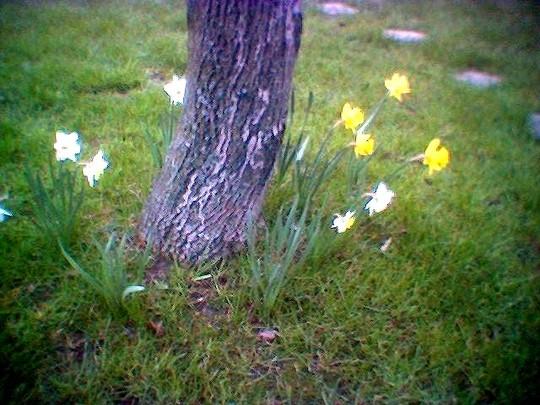 Dafs at foot of walnut tree in 2007 (Narcissus)