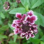 Scabious 'Chile Sauce' (Scabiosa atropurpurea (Pincushion flower))