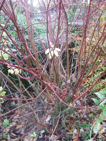 Dogwood.. (Cornus alba)
