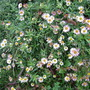 Erigeron_k._still_flowering