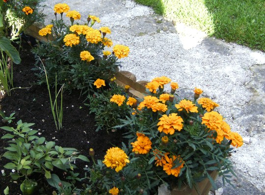 marigolds in veggie bed. (marigold)