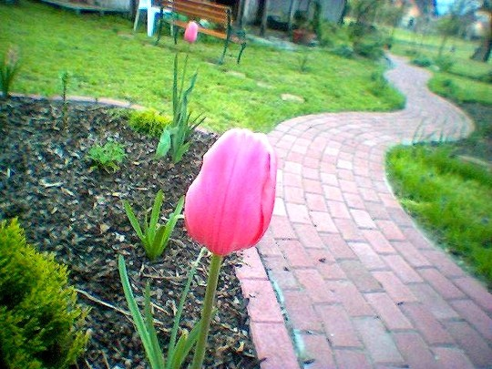 Tulipa cottage menton in 2007 (Tulipa cottage menton)