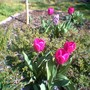 Purple prince in 2007 (Tulipa single early purple prince)