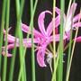 Nerines (Nerine bowdenii (Nerine))