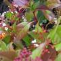 Viburnum Gwenllian (Viburnum tinus)