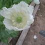 Lot of Persian White Poppy (papaver somniferum var album)