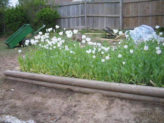 Garden Picture (papaver somniferum)