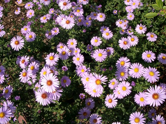 Asters in 2007 (Aster frikartii)